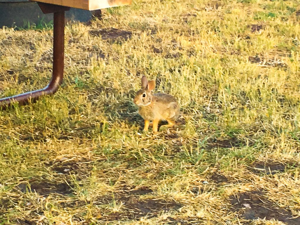 KOA Rapid City BUnny